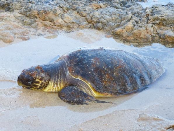 Meeresschildkröte, Seaturtle
