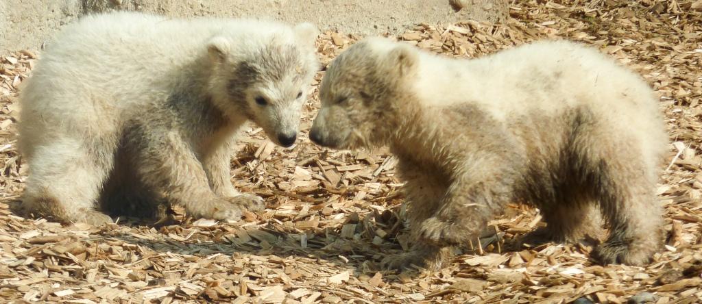 Nela und Nobby, die Eisbären Zwillinge